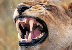野生動物 虫歯
